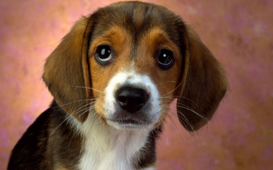 puppy_eyes_beagle-wide
